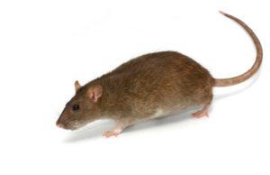 deratyzacja-szczur